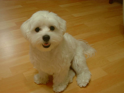 how to do maltese dog training How to Do Maltese Dog Training