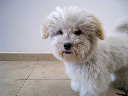 Coton De Tulear Puppies Where to Find
