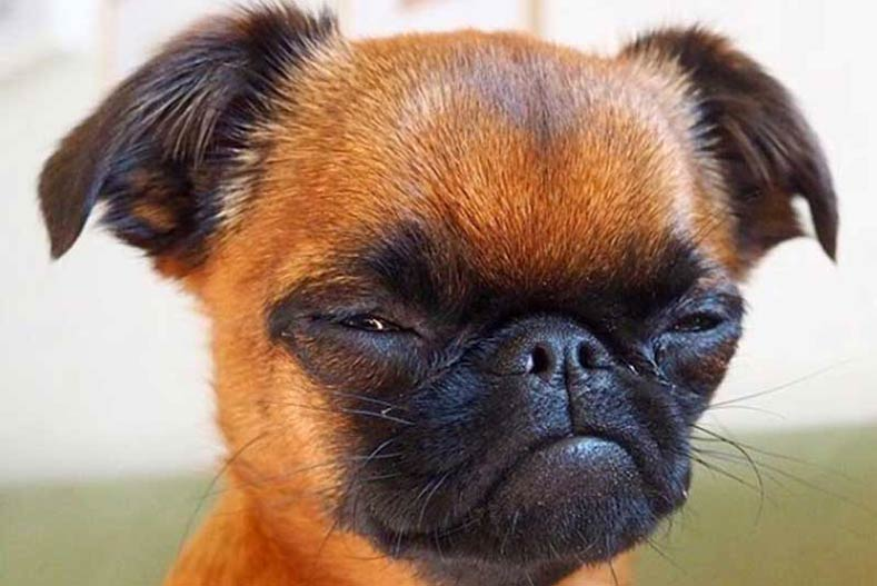 Brussels Griffon Smooth Dog Breeders Guide