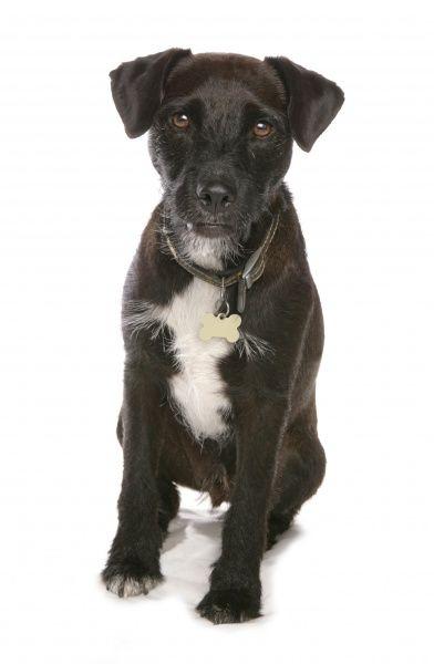 Patterdale Terrier Dog Breeders Guide