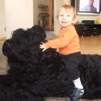 Black Russian Terriers Dog Breed
