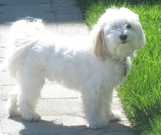 Most Favorite White Dog Breeds - Dog Breeders Guide
