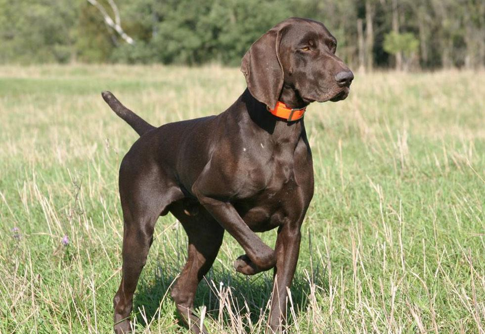 How Do You Train A Hunting Dog