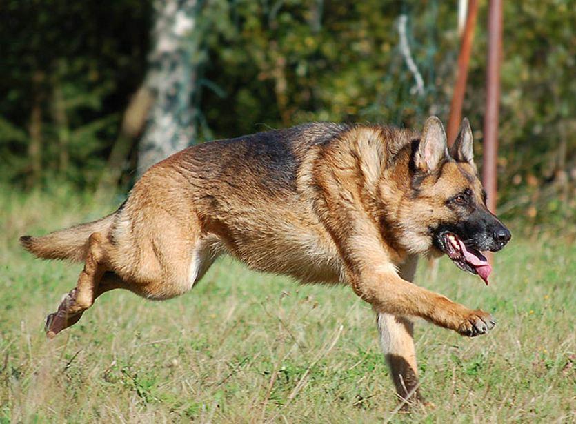German Dog Breeds