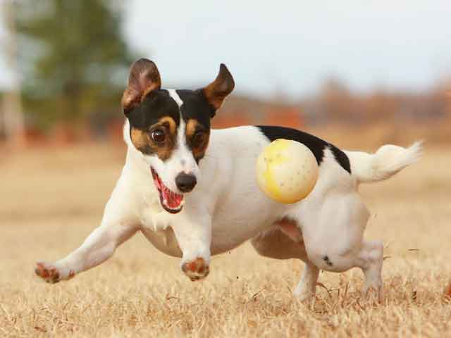 Jack Russell Terrier Small Dog Breed