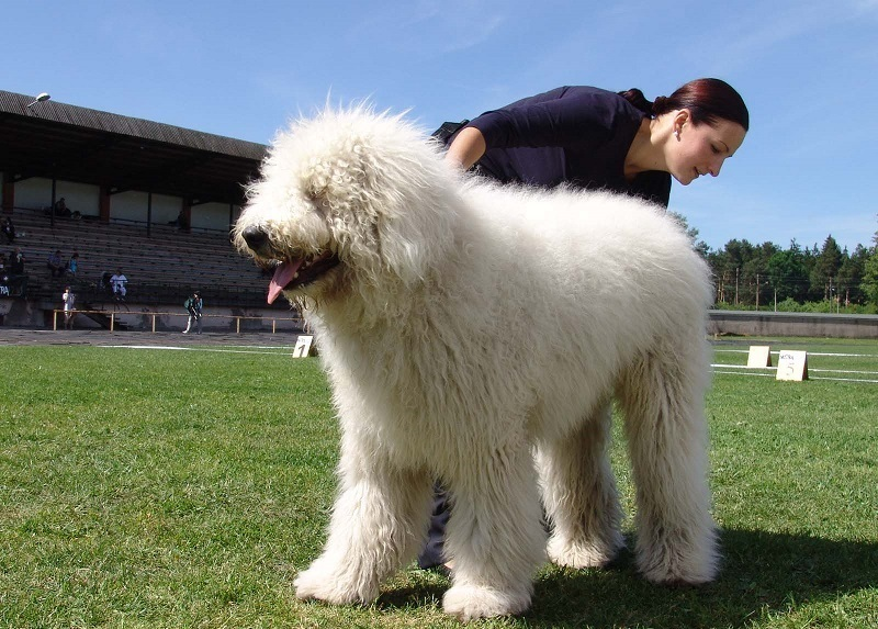 Top 10 Large Dog Breeds