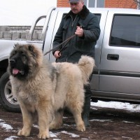 Russian Caucasian Shepherd Dog