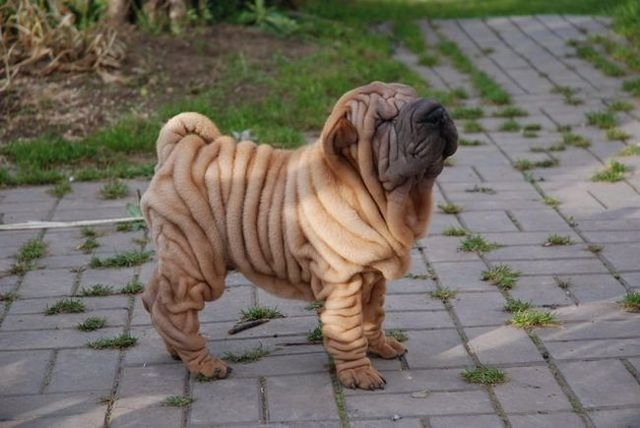 Shar Pei Cute Dog