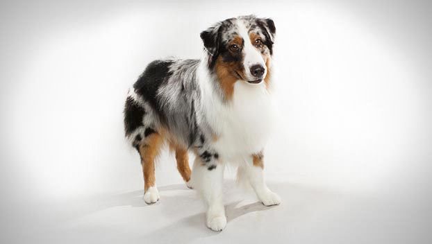 most intelligent dog breeds