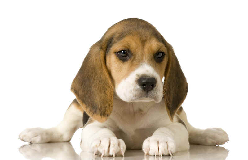 Beagle Dog as Home Pet