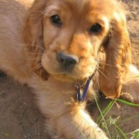 cocker spaniel breeders pictures