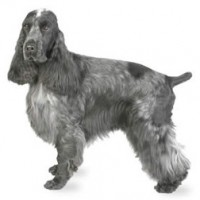 cocker spaniel dog picture info