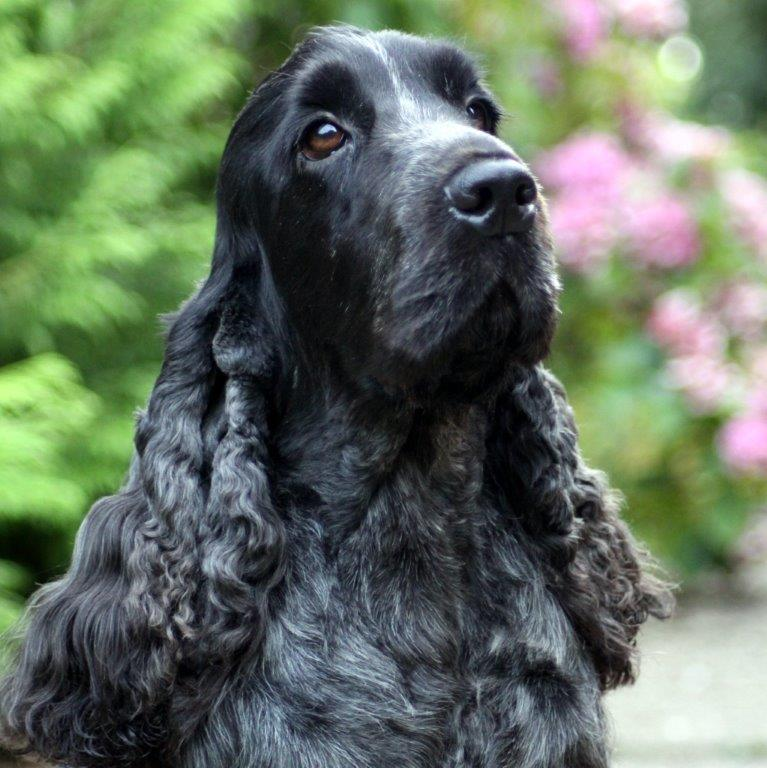 Cocker Spaniel Dog Breed Information, Wallpapers, Poll