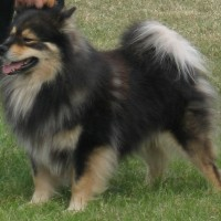 fluffy dog breeds medium