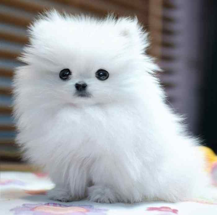 fluffy dog breeds tiny