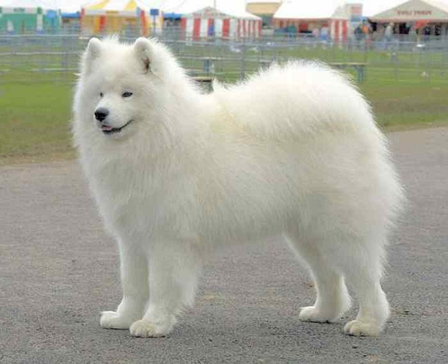 Big Fluffy Dog Breeds Big White Fluffy Dog Breeds