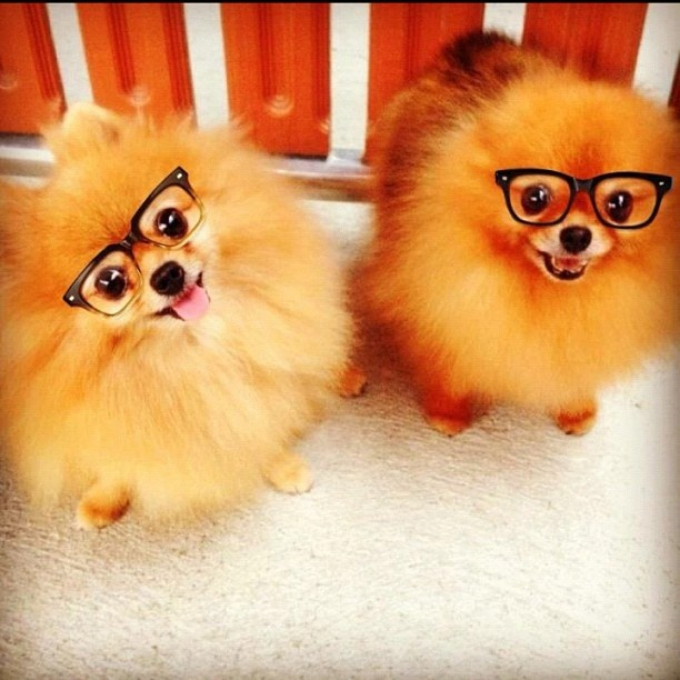 funny dog wearing glasses