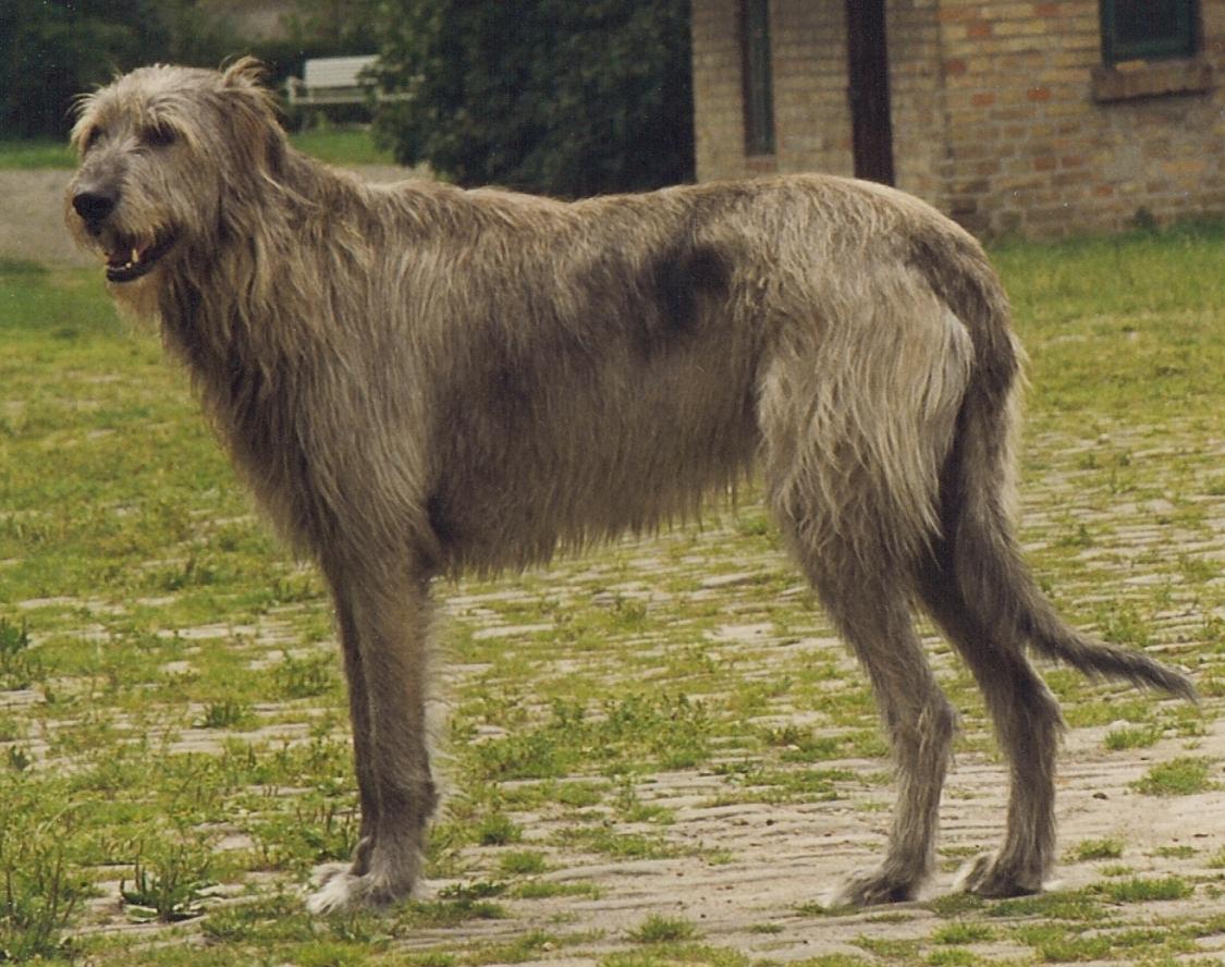 Largest Hound Breed Goldenacresdogs