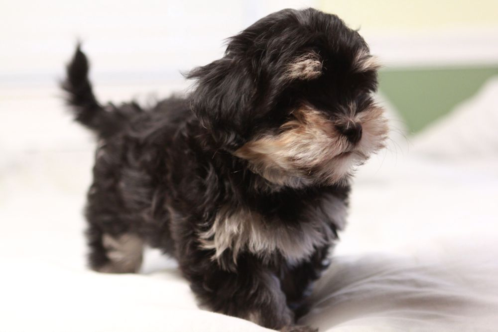 Havanese dogs personality and behavior