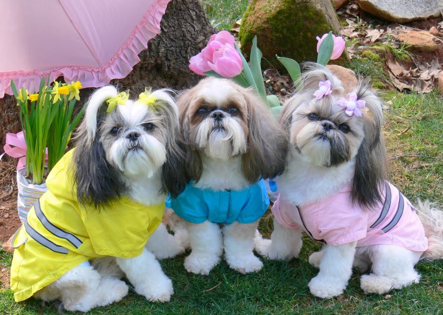 Funny Mini Shih Tzu Dog for Home