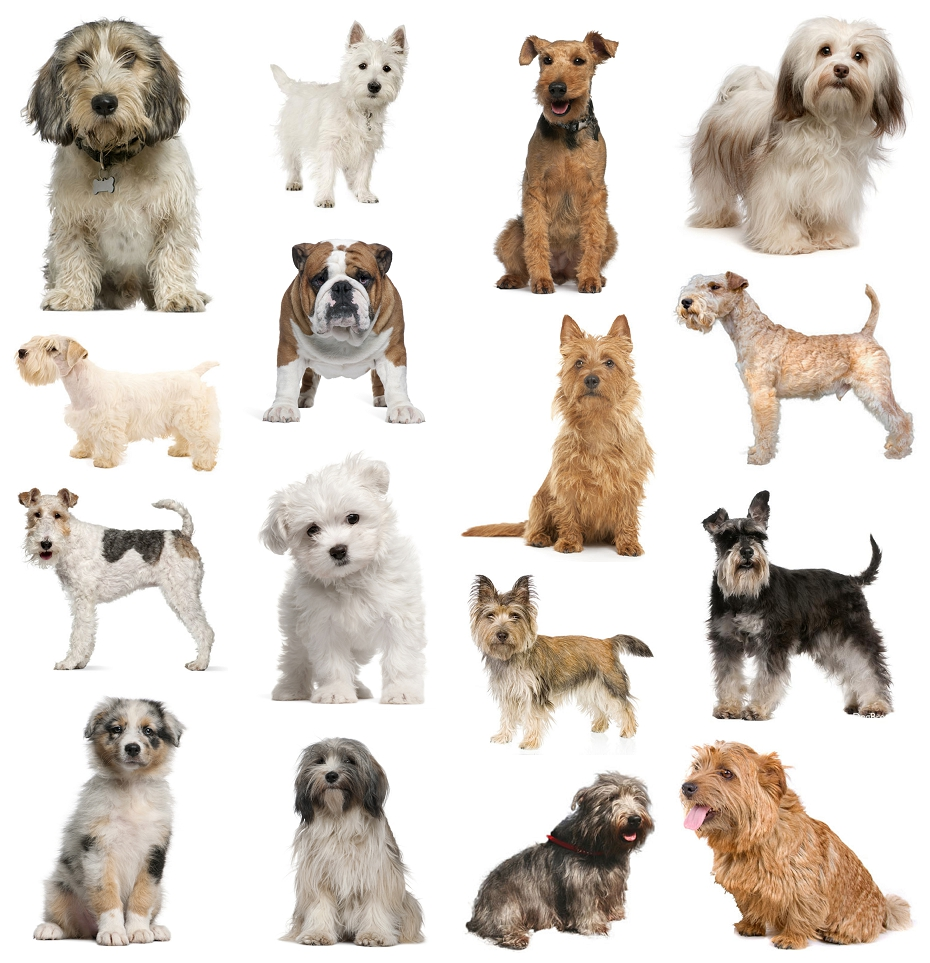 pictures of small dog breeds