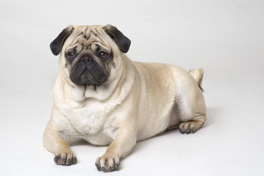 Pug Dog Characteristics