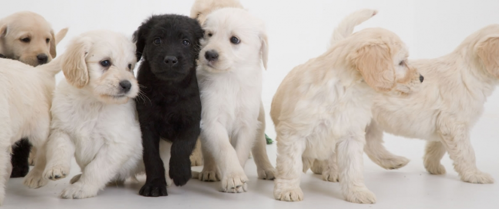 Puppy Finder to find the Best Family Dog for you