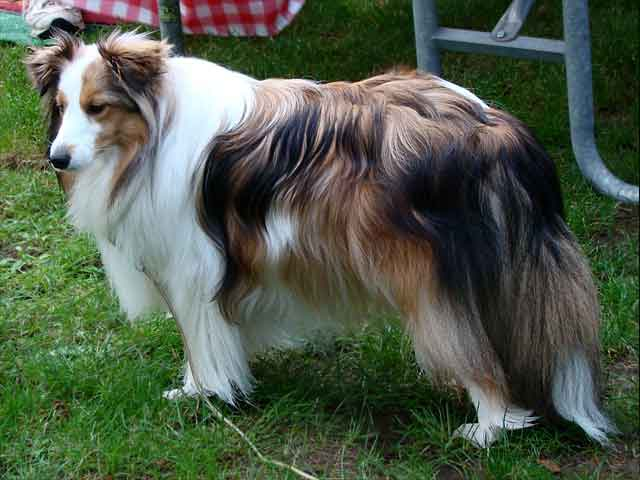 Catalan Sheepdog breed info,Pictures,Characteristics,Hypoallergenic:No