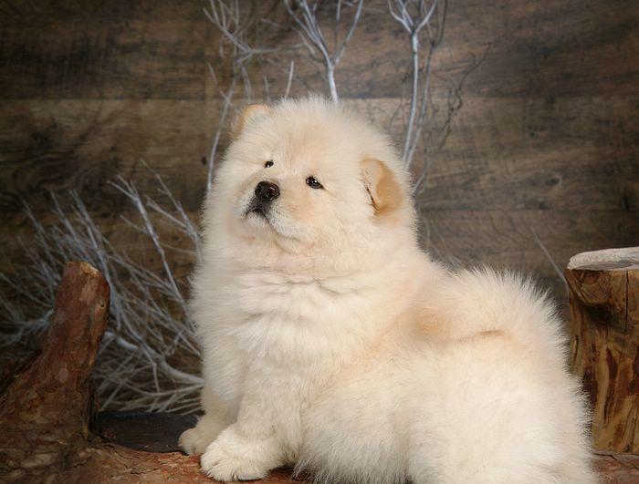 white fluffy dog breed