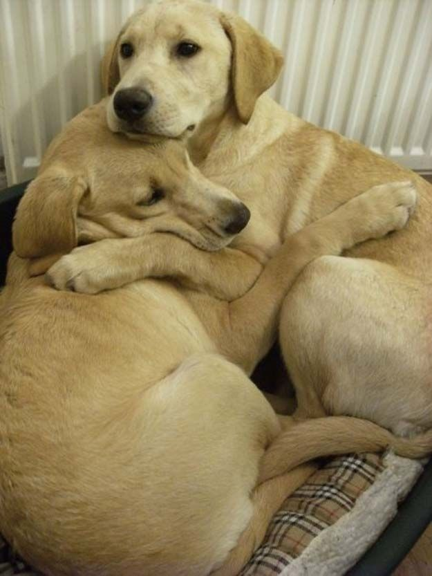 2 white labrador retrievers hugging