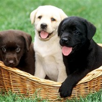 3 cute labrador puppies with different colors