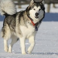 Alaskan Malamute Healthy Dog Breed