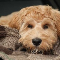 All About Hypoallergenic Dogs