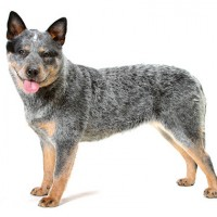 Australia Cattle Dog Least Health Problems