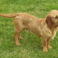 Basset Fauve de Bretagne Small Dog Breed with Pictures