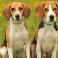 Beagle small dog breed with pictures