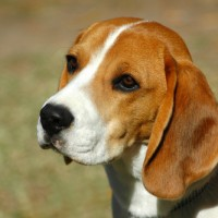 Beagles for your loved ones