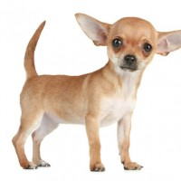 Best fo Family The Chihuahua Dog Breed