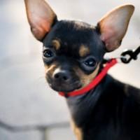 Black Chihuahua Dog Breed
