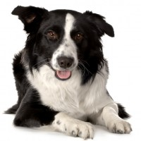 Border Collie Dog for your loved ones