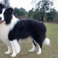 Border Collie Healthy Dog Breed