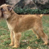 Brussels Griffon Small Dog Breed with Pictures