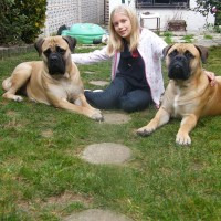 Bullmastiff Relaxed Dog Breed