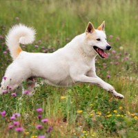 Canaan Dog Least Health Problems