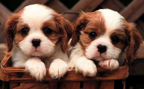 Cautious King Charles Spaniel Dog