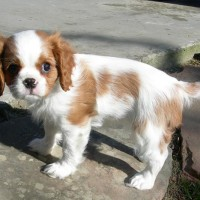 Cavalier King Charles Spaniel puppies pictures