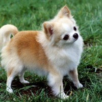 Chihuahua Dog Breed Facts