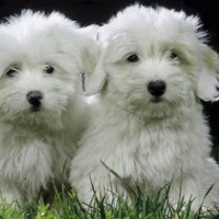 Coton De Tulear Small Dog Breed with Pictures