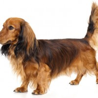 Dachshund Small Dog Breed with Pictures