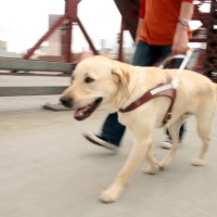 Educate Labrador Dog or Puppy